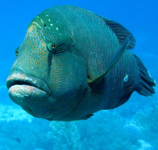 سمكة نآبليون الطربآني egypt-napoleon-wrass