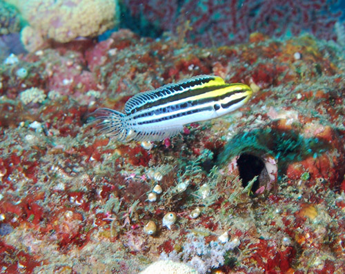 1-meiacanthus-grammistes-striped-fangblenny