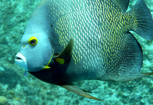 mexico-french-angelfish2