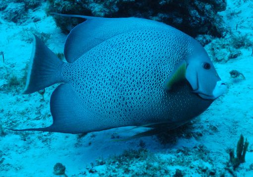 mexico-gray-angelfish