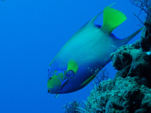 mexico-queen-angelfish
